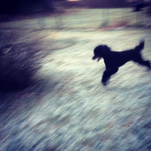 Ollie Streaking across the yard. He's a handsome, tall Standard Poodle.